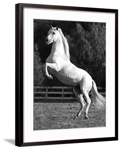 Grey Andalusian Stallion Rearing on Hind Legs, Ojai, California, USA-Carol Walker-Framed Art Print