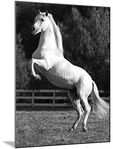Grey Andalusian Stallion Rearing on Hind Legs, Ojai, California, USA-Carol Walker-Mounted Photographic Print