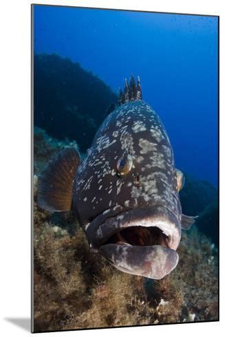 Dusky Grouper (Epinephelus Marginatus) Lavezzi Islands, Corsica, France, September- Pitkin-Mounted Photographic Print