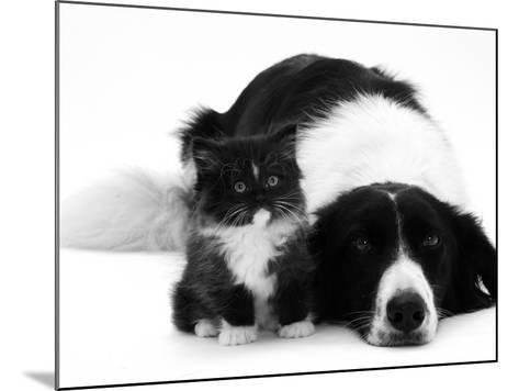 Black-And-White Border Collie Lying Chin on Floor with Black-And-White Kitten-Jane Burton-Mounted Photographic Print