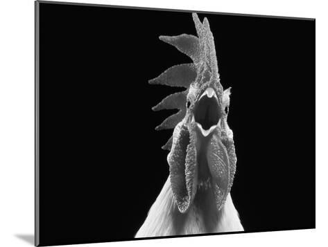 Domestic Chicken, White Leghorn Cockerel Crowing-Jane Burton-Mounted Photographic Print
