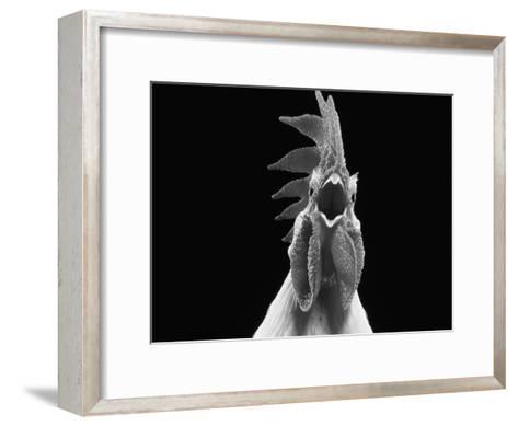 Domestic Chicken, White Leghorn Cockerel Crowing-Jane Burton-Framed Art Print