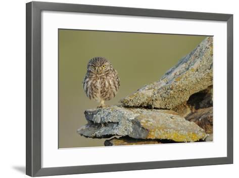 Little Owl (Athene Noctua) on Rock, La Serena, Extremadura, Spain, April 2009-Widstrand-Framed Art Print