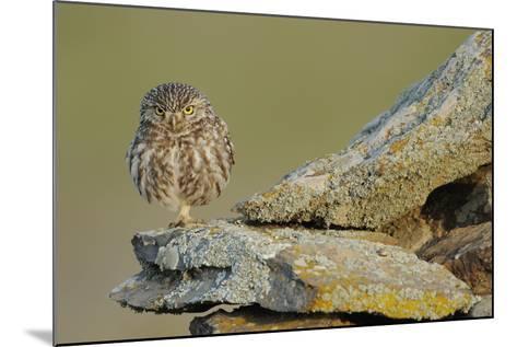 Little Owl (Athene Noctua) on Rock, La Serena, Extremadura, Spain, April 2009-Widstrand-Mounted Photographic Print