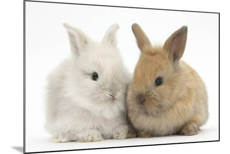 Two Baby Lionhead Cross Lop Bunnies-Mark Taylor-Mounted Photographic Print