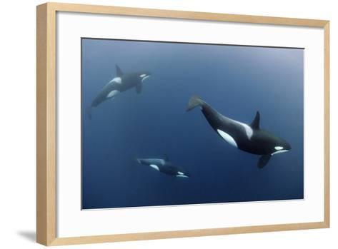 Three Killer Whales - Orcas (Orcinus Orca) Underwater, Kristiansund, Nordm?re, Norway, February-Aukan-Framed Art Print
