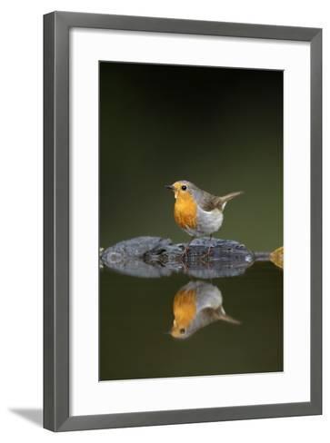 Robin (Erithacus Rubecula) at Water, Pusztaszer, Hungary, May 2008-Varesvuo-Framed Art Print