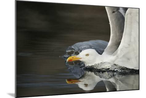 Herring Gull (Larus Argentatus) Landing on Water, Flatanger, Nord Tr?ndelag, Norway, August 2008-Widstrand-Mounted Photographic Print