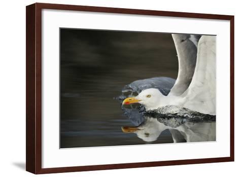 Herring Gull (Larus Argentatus) Landing on Water, Flatanger, Nord Tr?ndelag, Norway, August 2008-Widstrand-Framed Art Print
