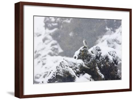 Female Gyrfalcon (Falco Rusticolus) in Snow, Myvatn, Thingeyjarsyslur, Iceland, April 2009-Bergmann-Framed Art Print