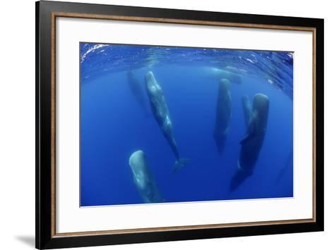 Sperm Whales (Physeter Macrocephalus) Resting, Pico, Azores, Portugal-Lundgren-Framed Art Print
