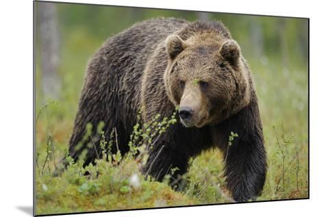 Eurasian Brown Bear Portrait (Ursus Arctos) Suomussalmi, Finland, July 2008-Widstrand-Mounted Photographic Print