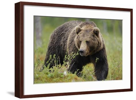 Eurasian Brown Bear Portrait (Ursus Arctos) Suomussalmi, Finland, July 2008-Widstrand-Framed Art Print