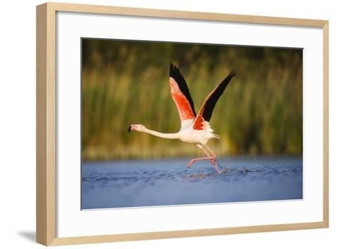 Greater Flamingo (Phoenicopterus Roseus) Taking Off from Lagoon, Camargue, France, May 2009-Allofs-Framed Art Print