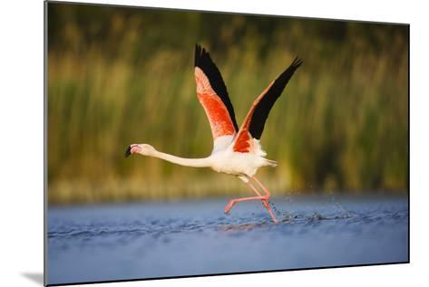 Greater Flamingo (Phoenicopterus Roseus) Taking Off from Lagoon, Camargue, France, May 2009-Allofs-Mounted Photographic Print