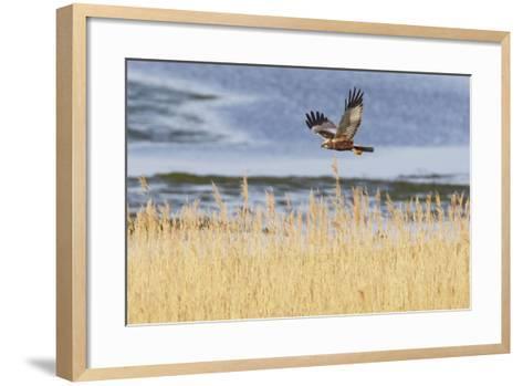 Marsh Harrier (Circus Aeruginosus) in Flight over Reedbeds, Texel, Netherlands, May 2009- Peltomäki-Framed Art Print