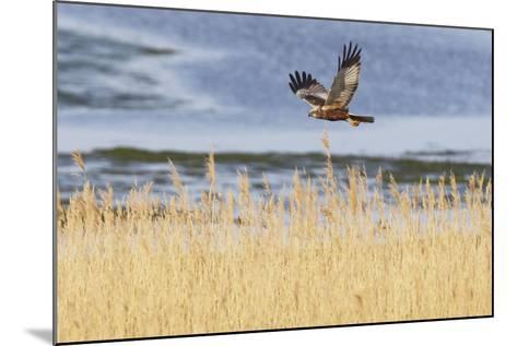 Marsh Harrier (Circus Aeruginosus) in Flight over Reedbeds, Texel, Netherlands, May 2009- Peltomäki-Mounted Photographic Print