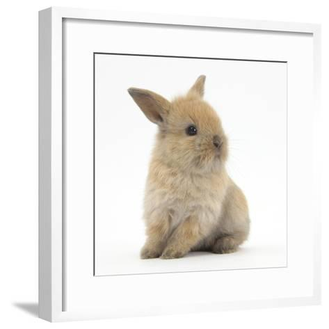 Baby Lionhead Lop Cross Rabbit-Mark Taylor-Framed Art Print