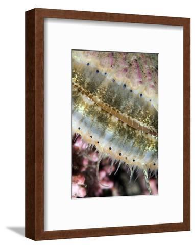 Queen Scallop (Chlamys Opercularis) Close-Up Showing Eyes in a Row, Lofoten, Norway, November-Lundgren-Framed Art Print