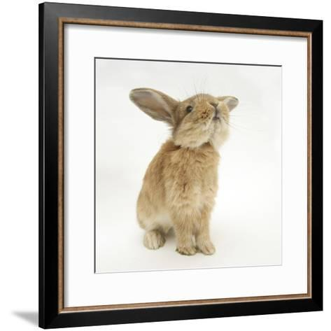 Lionhead-Cross Rabbit, Sniffing-Mark Taylor-Framed Art Print