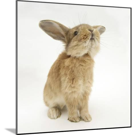 Lionhead-Cross Rabbit, Sniffing-Mark Taylor-Mounted Photographic Print