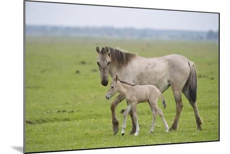 Konik Horse, Mare with Young Foal, Oostvaardersplassen, Netherlands, June 2009-Hamblin-Mounted Photographic Print