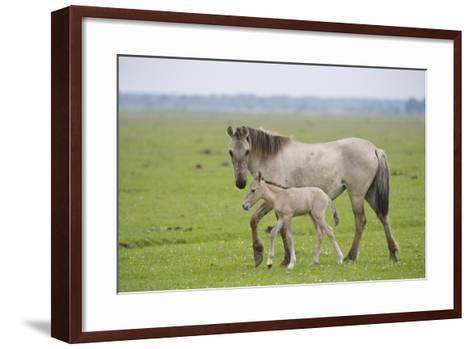 Konik Horse, Mare with Young Foal, Oostvaardersplassen, Netherlands, June 2009-Hamblin-Framed Art Print