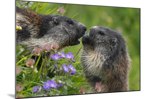 Alpine Marmots (Marmota Marmota) Feeding on Flowers, Hohe Tauern National Park, Austria-Lesniewski-Mounted Photographic Print