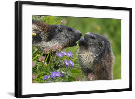 Alpine Marmots (Marmota Marmota) Feeding on Flowers, Hohe Tauern National Park, Austria-Lesniewski-Framed Art Print
