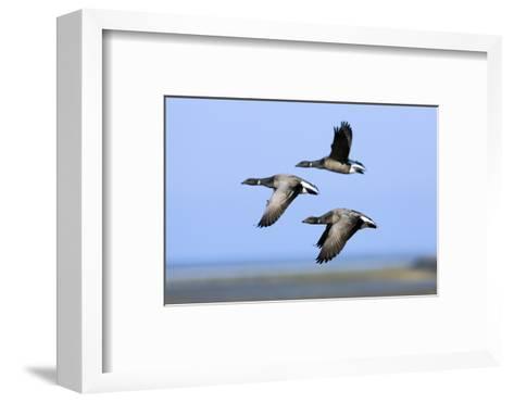 Brent Geese (Branta Bernicla) Flying, Hallig Hooge, Germany, April 2009-Nov?k-Framed Art Print