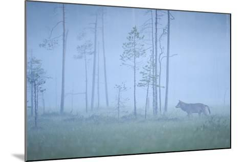 Wild European Grey Wolf (Canis Lupus) Silhoutted in Mist, Kuhmo, Finland, July 2008-Widstrand-Mounted Photographic Print