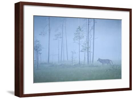 Wild European Grey Wolf (Canis Lupus) Silhoutted in Mist, Kuhmo, Finland, July 2008-Widstrand-Framed Art Print