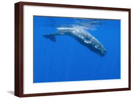 Sperm Whale (Physeter Macrocephalus) Diving, Pico, Azores, Portugal, June 2009-Lundgren-Framed Art Print