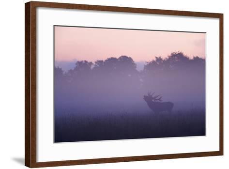 Red Deer Stag Calling During Rut, Light Mist at Sunrise, Klampenborg Dyrehaven, Denmark-M?llers-Framed Art Print