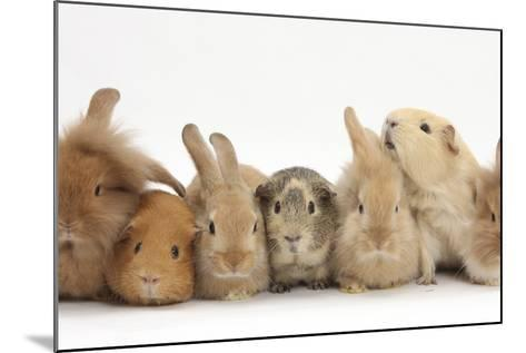 Assorted Sandy Rabbits and Guinea Pigs-Mark Taylor-Mounted Photographic Print
