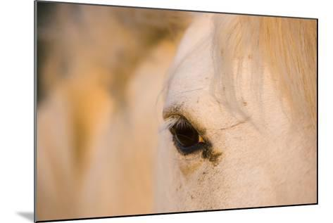 White Camargue Horse Close-Up of Head, Camargue, France, May 2009-Allofs-Mounted Photographic Print