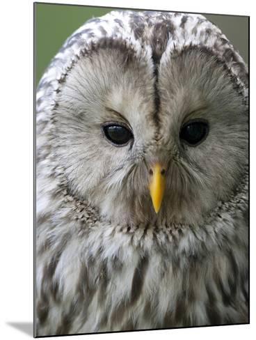 Ural Owl (Strix Uralensis) Portrait, Bergslagen, Sweden, June 2009-Cairns-Mounted Photographic Print