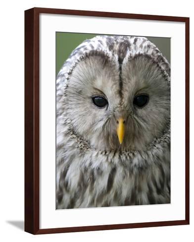 Ural Owl (Strix Uralensis) Portrait, Bergslagen, Sweden, June 2009-Cairns-Framed Art Print