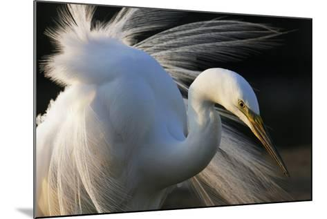 Great Egret (Ardea Alba) Pusztaszer, Hungary, May-Varesvuo-Mounted Photographic Print