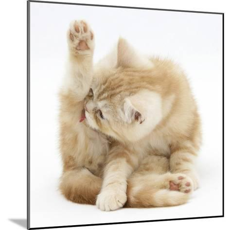 Ginger Kitten 'Funnel-Grooming'-Mark Taylor-Mounted Photographic Print