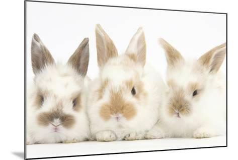 Three Cute Baby Rabbits in a Row-Mark Taylor-Mounted Photographic Print