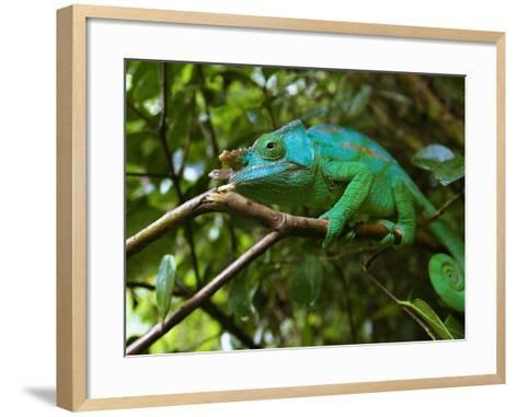 A Chameleon Sits on a Branch of a Tree in Madagascar's Mantadia National Park Sunday June 18, 2006-Jerome Delay-Framed Art Print