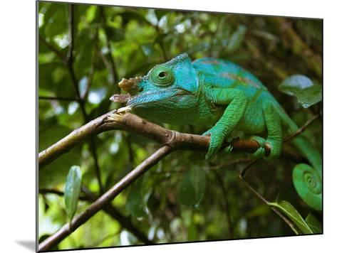 A Chameleon Sits on a Branch of a Tree in Madagascar's Mantadia National Park Sunday June 18, 2006-Jerome Delay-Mounted Photographic Print