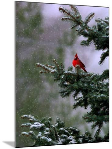 A Bright Red Cardinal--Mounted Photographic Print