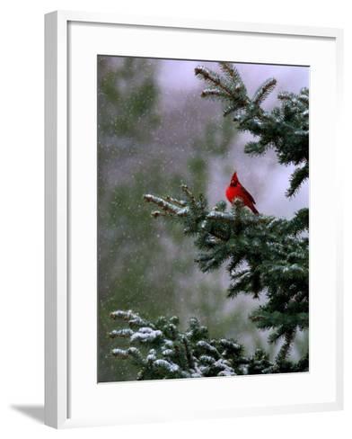A Bright Red Cardinal--Framed Art Print