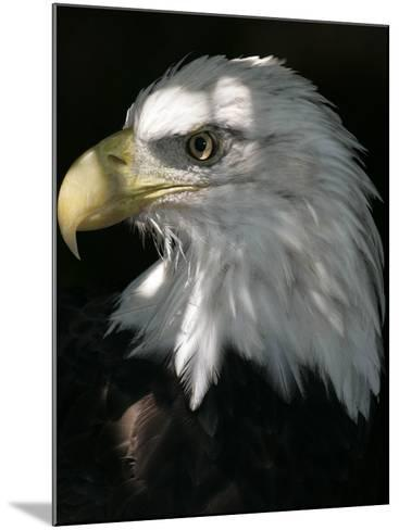 A Bald Eagle Sits in the Shade at the Dallas Zoo--Mounted Photographic Print