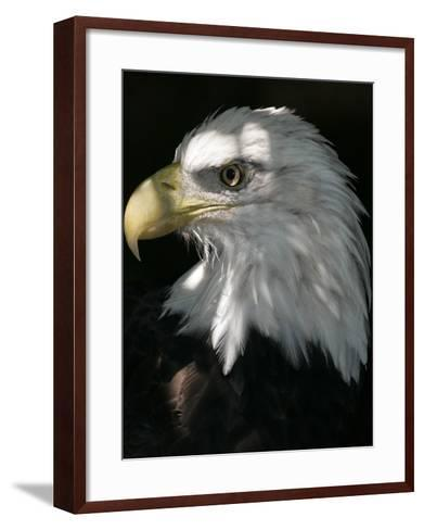 A Bald Eagle Sits in the Shade at the Dallas Zoo--Framed Art Print
