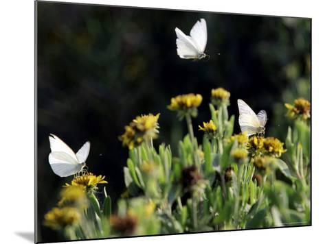 Butterflies Land on Wild Flowers at Boca Chica, Texas-Eric Gay-Mounted Photographic Print