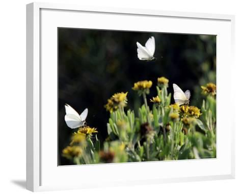 Butterflies Land on Wild Flowers at Boca Chica, Texas-Eric Gay-Framed Art Print