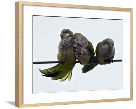 Three Monk Parakeets Brace Themselves against a Stiff Breeze as They Perch on a Wire--Framed Art Print
